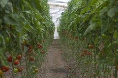 Tomates maduros vermelhos bonitos da herança crescidos em uma estufa Fotografia de jardinagem do tomate com espaço da cópia Profu Fotos de Stock Royalty Free