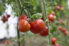 Tomates maduros vermelhos bonitos da herança crescidos em uma estufa Fotografia de jardinagem do tomate com espaço da cópia Imagens de Stock Royalty Free