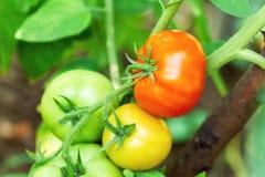 Tomates maduros y verdes Fotografía de archivo libre de regalías