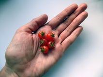 Tomates miniatures dans les bonsaïs nains chétifs de main photos libres de droits