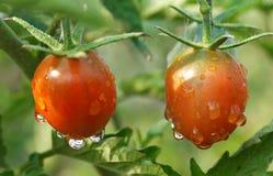 Tomates mojados maduros en la planta Fotografía de archivo