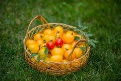 Tomates na cesta Fotografia de Stock Royalty Free