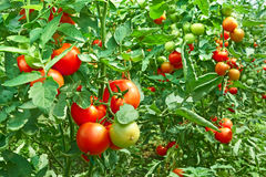 Tomates na estufa Fotografia de Stock Royalty Free