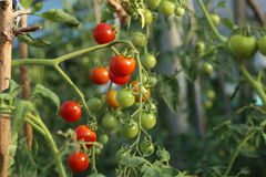 Tomates na estufa Imagem de Stock