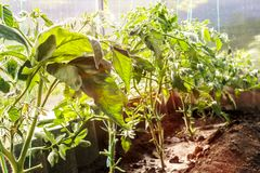 Tomates na estufa Tomates amarrados nos graus da estufa Pl?ntulas do tomate Tomates crescentes na estufa imagem de stock