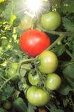 Tomates na videira Fotos de Stock Royalty Free