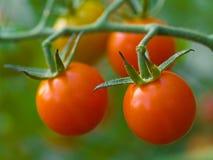 Tomates na videira Foto de Stock