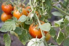 Tomates naturales maduros que crecen en una rama Fotos de archivo libres de regalías