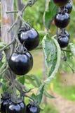 tomates negros Imagen de archivo