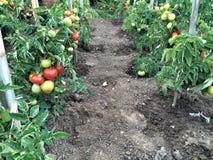 Tomates no arbusto Foto de Stock