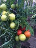 Tomates no arbusto Imagem de Stock