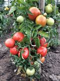 Tomates no arbusto Foto de Stock Royalty Free