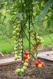 Tomates no campo Fotografia de Stock Royalty Free