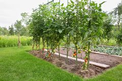 Tomates no campo Foto de Stock Royalty Free
