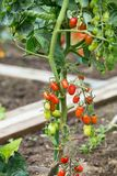 Tomates no campo Fotografia de Stock
