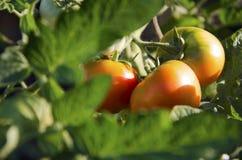 Tomates no jardim Imagens de Stock