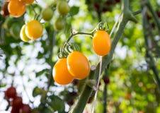 Tomates no jardim, jardim vegetal com as plantas de tomates vermelhos Tomates maduros em uma videira, crescendo em um jardim Toma Fotografia de Stock