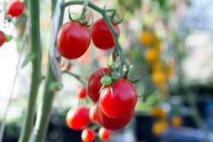 Tomates no jardim, jardim vegetal com as plantas de tomates vermelhos Tomates maduros em uma videira, crescendo em um jardim Toma Imagens de Stock