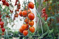 Tomates no jardim, jardim vegetal com as plantas de tomates vermelhos Tomates maduros em uma videira, crescendo em um jardim Toma Fotos de Stock