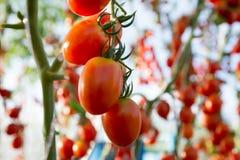 Tomates no jardim, jardim vegetal com as plantas de tomates vermelhos Tomates maduros em uma videira, crescendo em um jardim Toma Foto de Stock