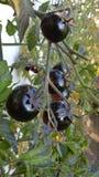 Tomates noires photos libres de droits