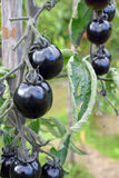 tomates noires Image stock