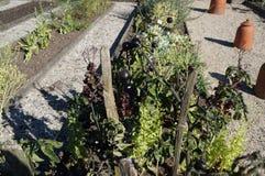 Tomates noires sur une branche photographie stock libre de droits