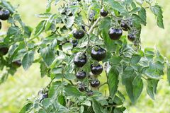 Tomates noires sur une branche dans le jardin Tomate rose d'indigo images libres de droits