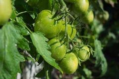 Tomates non mûres sur une branche Photographie stock