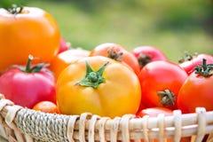 Tomates orgánicos amarillos y rojos escogidos frescos Fotos de archivo libres de regalías