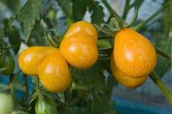 Tomates orgánicos en el jardín Imagenes de archivo
