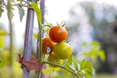 Tomates orgánicos en jardín Imágenes de archivo libres de regalías