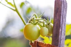 Tomates orgánicos en jardín Fotografía de archivo libre de regalías