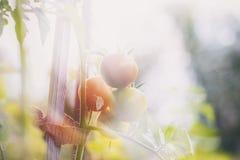 Tomates orgánicos en jardín Foto de archivo