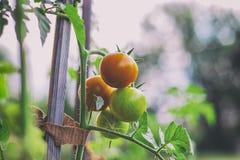 Tomates orgánicos en jardín Fotos de archivo