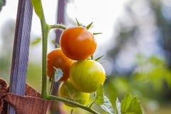 Tomates orgánicos en jardín Imagen de archivo