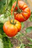 Tomates orgánicos en la vid Foto de archivo libre de regalías
