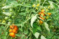 Tomates orgánicos en la vid Fotografía de archivo libre de regalías