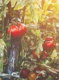 Tomates orgánicos en un invernadero Tomates maduros rojos frescos del jardín Fotos de archivo