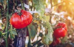 Tomates orgánicos en un invernadero Tomates maduros rojos frescos del jardín Foto de archivo