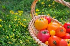 Tomates orgánicos frescos en cesta al aire libre en una hierba Imagenes de archivo