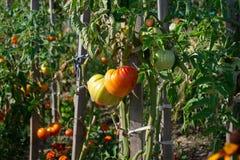 Tomates orgánicos que crecen en la rama en el jardín Fotos de archivo libres de regalías