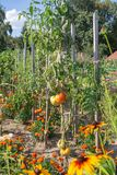 Tomates orgánicos que crecen en la rama en el jardín Imagenes de archivo