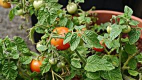 Tomates orgánicos que maduran en el sol Fotografía de archivo