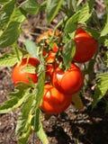 Tomates orgânicos Fotos de Stock Royalty Free