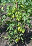 Tomates orgânicos crescentes Ramo de tomates de cereja verdes Fotografia de Stock Royalty Free