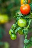 Tomates orgânicos das plantas Fotos de Stock Royalty Free