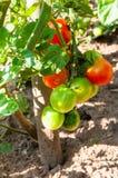 Tomates orgânicos das plantas Fotos de Stock