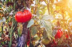 Tomates orgânicos em uma estufa Tomates maduros vermelhos frescos do jardim Fotografia de Stock