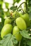 Tomates organiques mûres Photo stock
